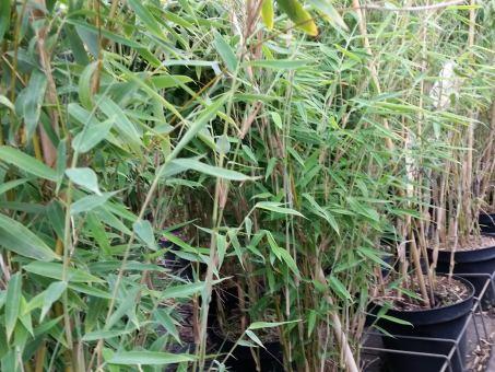 Bambus Fargesia murielae 'Deep Forest'
