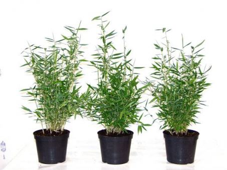Bambuspflanze Fargesia Murielae Superjumbo Größe 60-80 cm, im 5L Container
