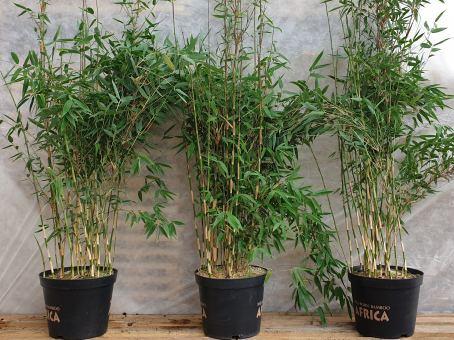 Bambus Fargesia 'Red Zebra'