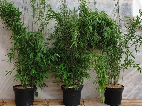 Bambus Fargesia nitida 'Volcano