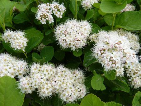 Spiraea betulifolia - Birkenblättriger Spierstrauch