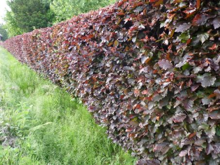 Fagus sylvatica purpurea - Blutbuche, Freilandware