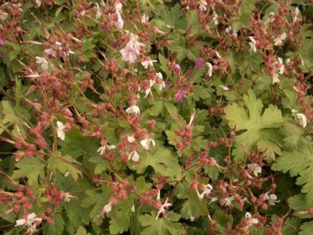 Geranium macrorrhizum spessart - Storschschabel