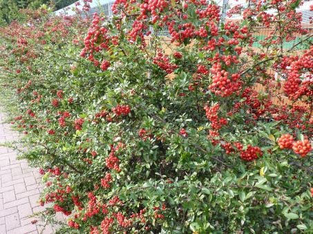 Pyracantha coccinea 'Red Column') - roter Feuerdorn