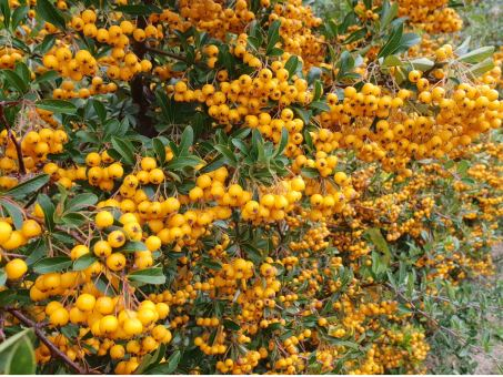 Pyracantha Crenoserata orange glow - Feuerdorn