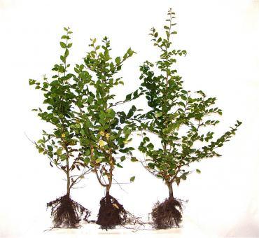 Carpinus Betulus - Hainbuchen wurzelnackt