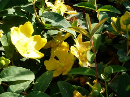 Hypericum 'Hidcote Gold' - Großblumiges Johanniskraut