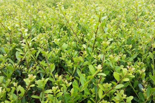 Bergilex Green Hedge im 0,5 L Topf