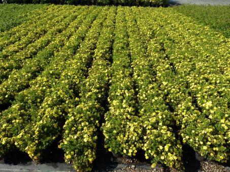 Potentilla fruticosa 'Kobold' - Gelber Fünffingerstrauch