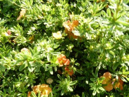 Potentilla fruticosa 'Red Ace' - Rot-Orangener Fünffingerstrauch