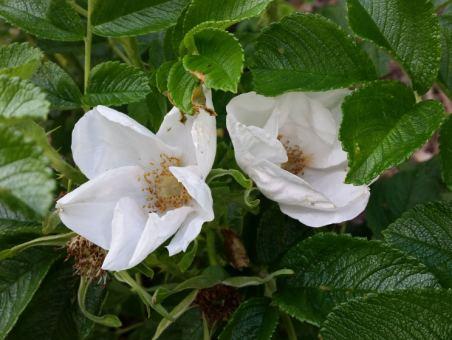 pflanzen mit anwachsgarantie rosa rugosa alba wei e heckenrose hier g nstig kaufen. Black Bedroom Furniture Sets. Home Design Ideas