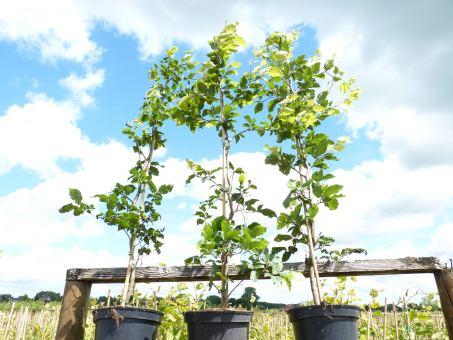 Fagus sylvatica - Rotbuchenpflanzen Größe 50-80cm, 1L Topf