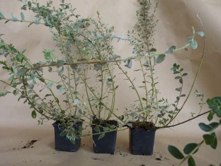 Salix repens argentea - Silber-Kriechweide