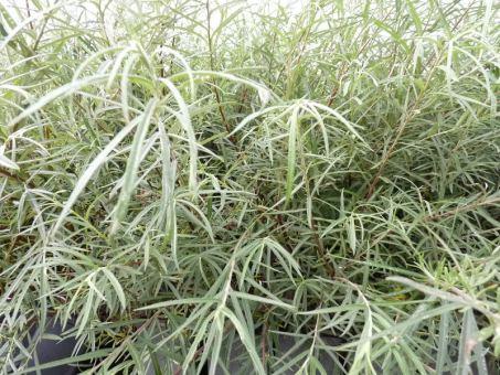 Salix rosmarinifolia - Rosmarinweide