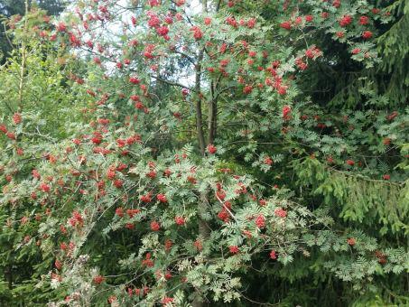 Sorbus aucuparia - Vogelbeere 50-80 cm