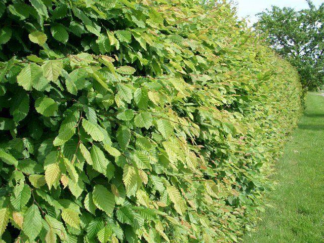 Pflanzen Mit Anwachsgarantie Carpinus Betulus Hainbuchen Im