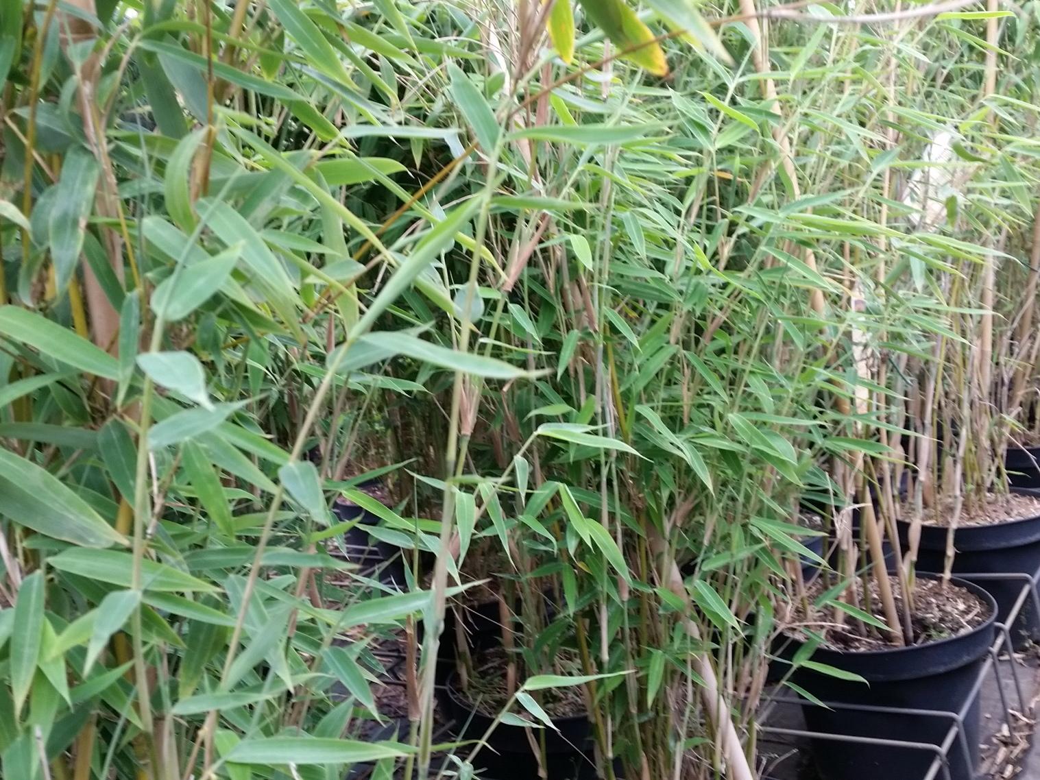 Pflanzen Mit Anwachsgarantie Bambus Fargesia Murielae Deep Forest