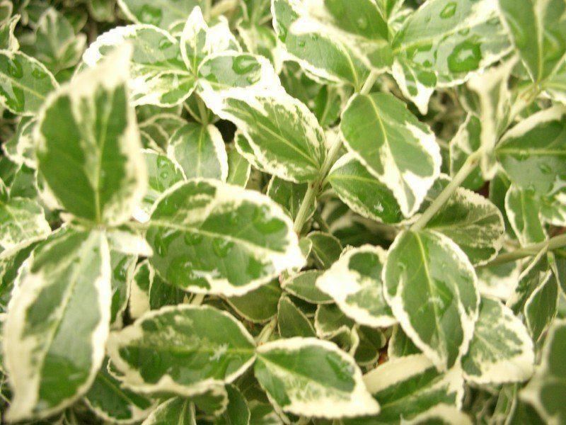 pflanzen mit anwachsgarantie euonymus fortunei 39 emerald gaiety 39 c1 hier g nstig kaufen. Black Bedroom Furniture Sets. Home Design Ideas