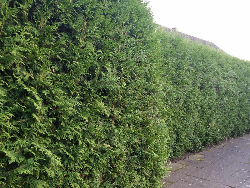 heckenpflanzen kaufen thuja brabant lebensbaum brabant