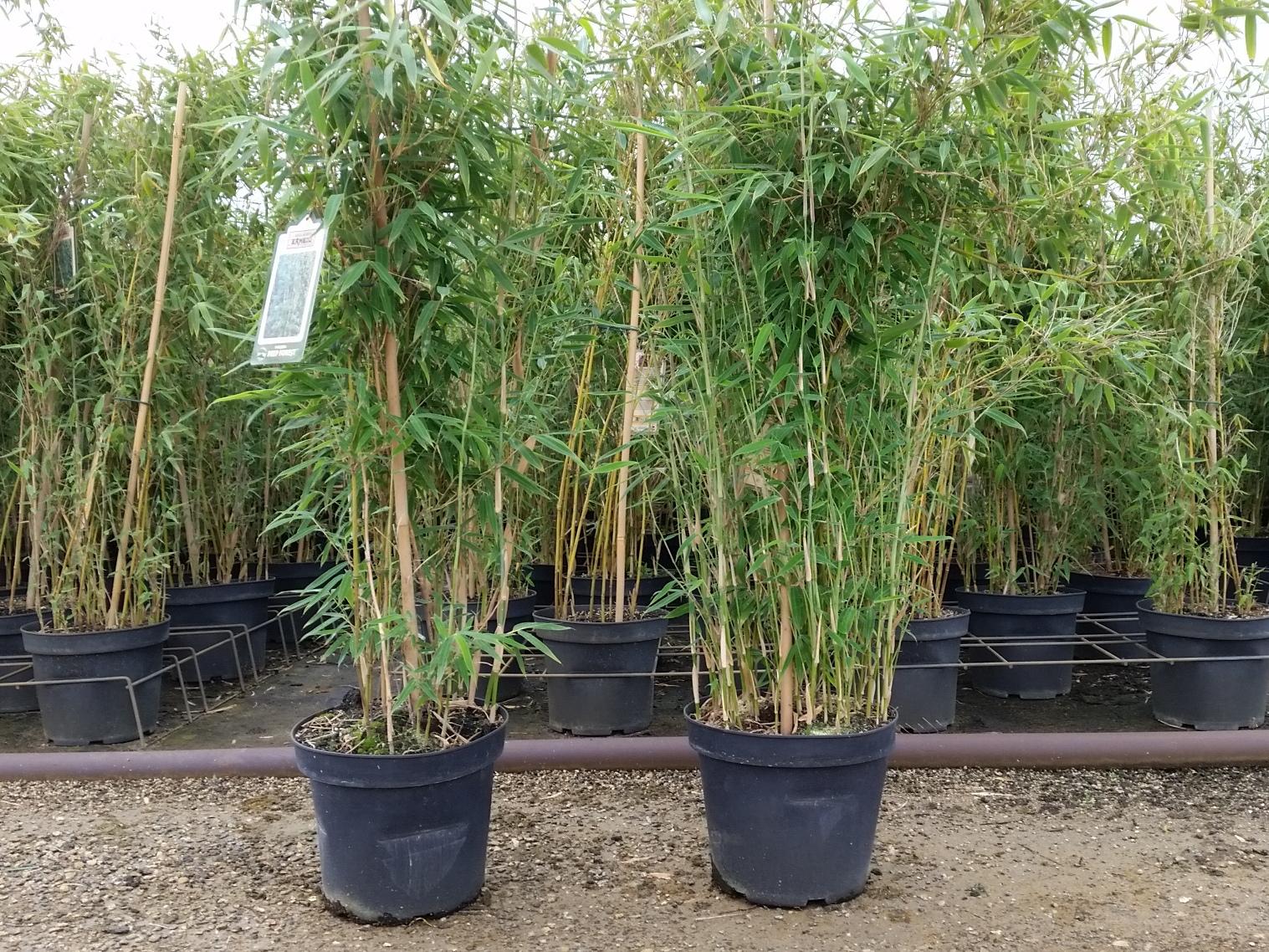 pflanzen mit anwachsgarantie bambus fargesia murielae 39 deep forest 39 hier g nstig kaufen. Black Bedroom Furniture Sets. Home Design Ideas