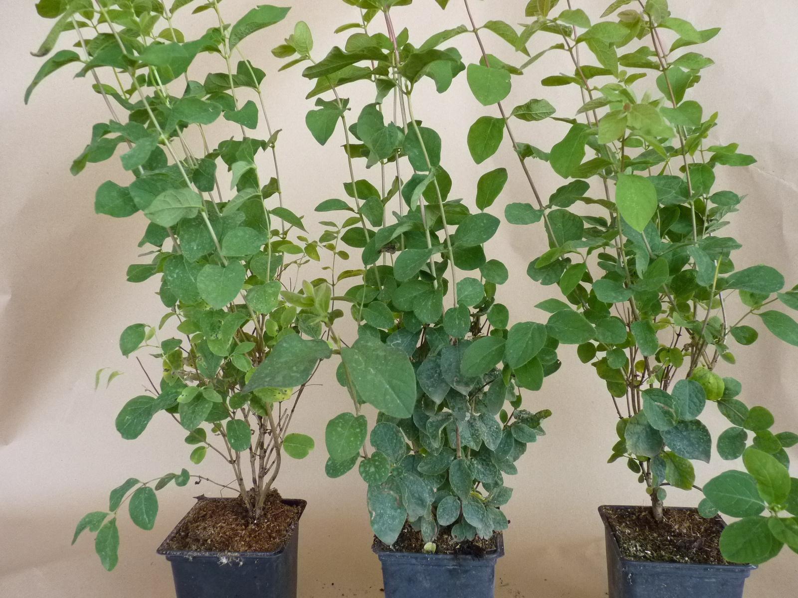 heckenpflanzen kaufen lonicera xylosteum heckenkirsche. Black Bedroom Furniture Sets. Home Design Ideas