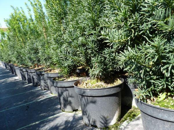 pflanzen mit anwachsgarantie taxus baccata eiben hier g nstig kaufen. Black Bedroom Furniture Sets. Home Design Ideas