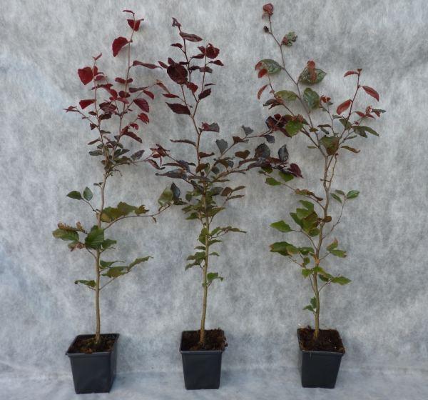heckenpflanzen kaufen fagus sylvatica purpurea blutbuche. Black Bedroom Furniture Sets. Home Design Ideas