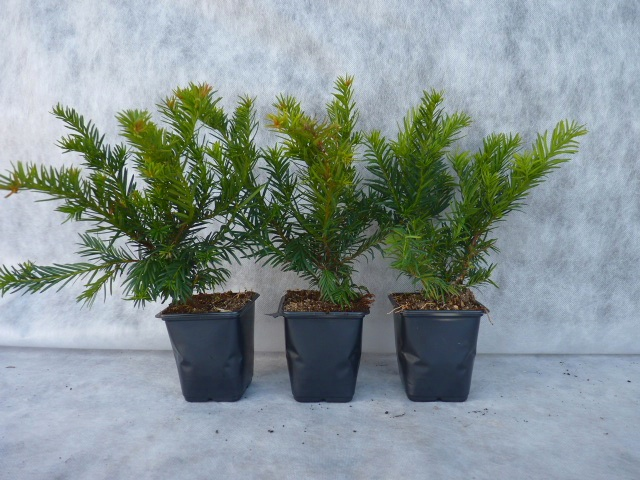3,99 € pro St. 1 x Taxus baccata /'Repandens/' 20-30 cm Bodendeckereibe