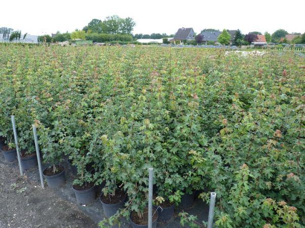 Heckenpflanze Feldahorn im Container 100 bis 125 cm hoch Acer campestre 3 Stück