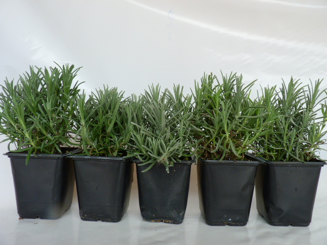 pflanzen mit anwachsgarantie lavendel hier g nstig kaufen. Black Bedroom Furniture Sets. Home Design Ideas