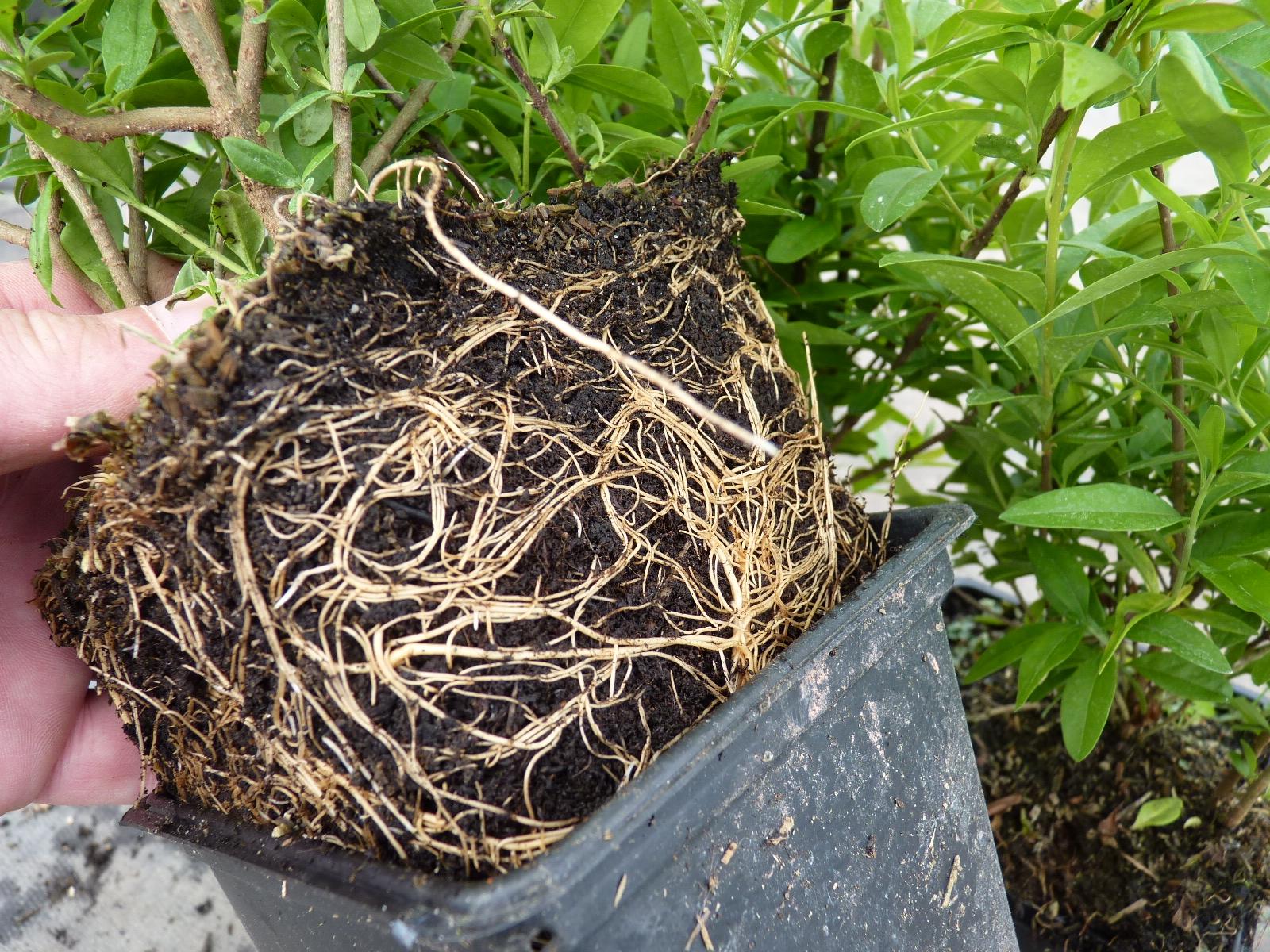 heckenpflanzen kaufen liguster lodense zwergliguster. Black Bedroom Furniture Sets. Home Design Ideas