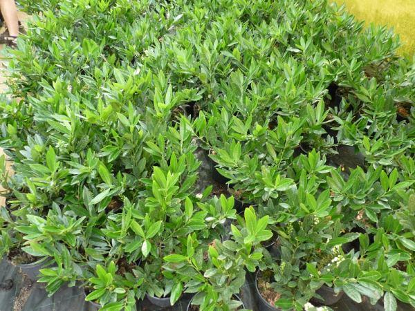 heckenpflanzen kaufen kirschlorbeer otto luyken im container gr e 30 40cm. Black Bedroom Furniture Sets. Home Design Ideas