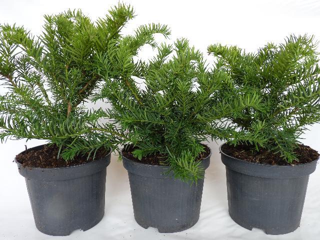 heckenpflanzen kaufen taxus baccata 39 repandens. Black Bedroom Furniture Sets. Home Design Ideas