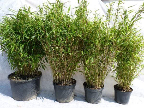 Heckenpflanzen kaufen  Bambuspflanze Fargesia Murielae Jumbo Größe ...