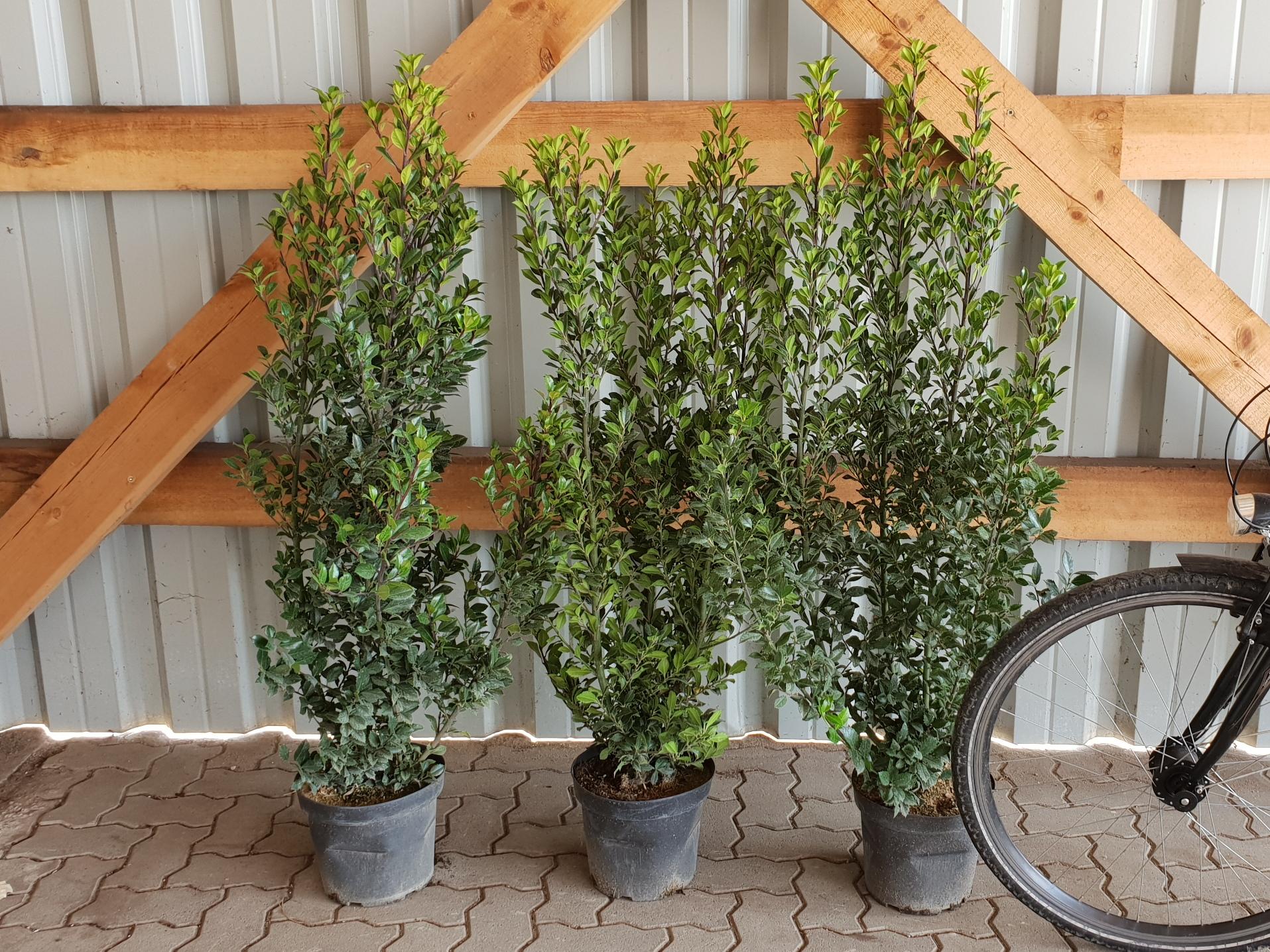 pflanzen mit anwachsgarantie ilex heckenstar stechpalme hier g nstig kaufen. Black Bedroom Furniture Sets. Home Design Ideas
